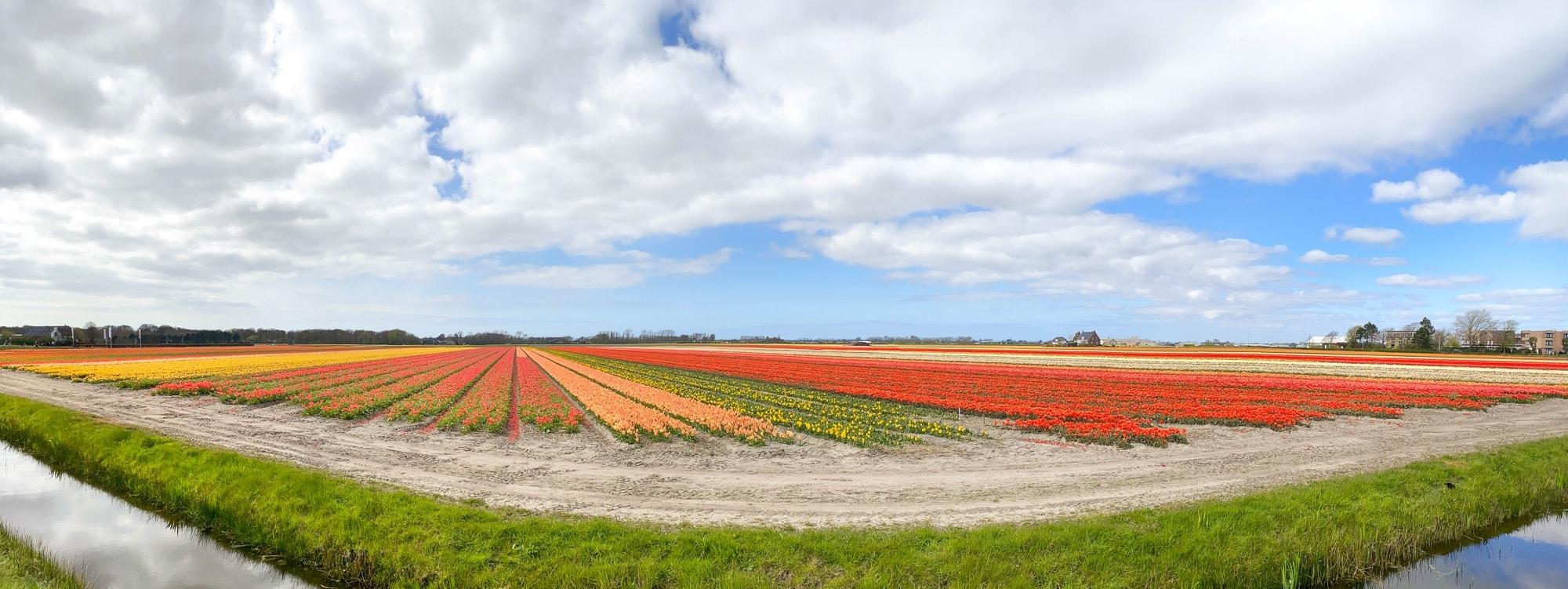 Tulpenfelder vor dem Keukenhof, Amsterdam